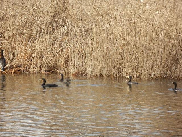 cormorani © maria tatsos